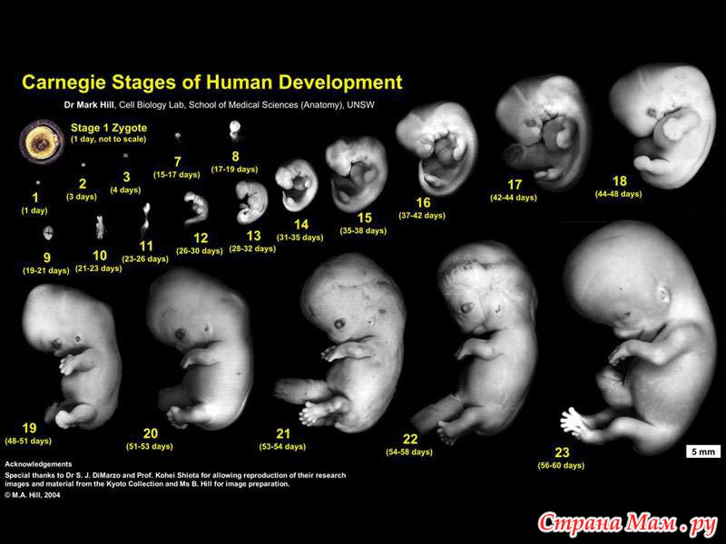 Беременность в картинках развитие плода в картинках 17