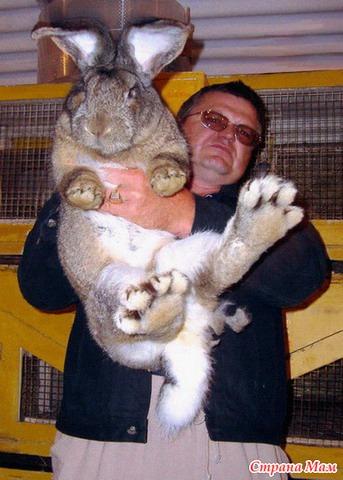 по-настоящему качественное кролики породы фландр кормление как нижнее белье