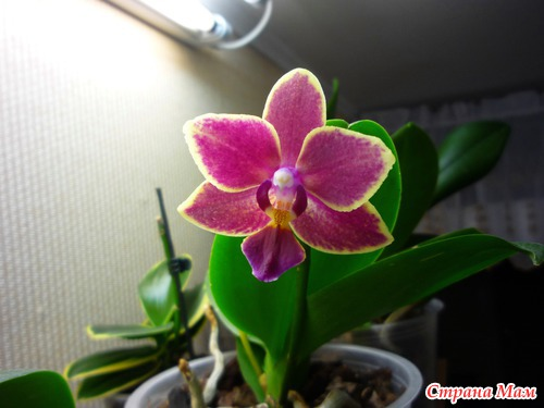Зацвели орхидеи.