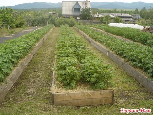 Способы посадки картофеля. Статья Игоря Лядова