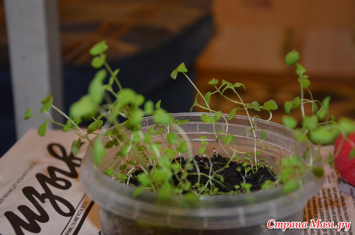 Как сажать мяту в домашних условиях из семян 52