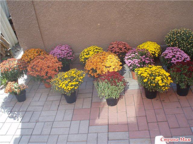 Хризантема мультифлора выращивание в домашних условиях 36