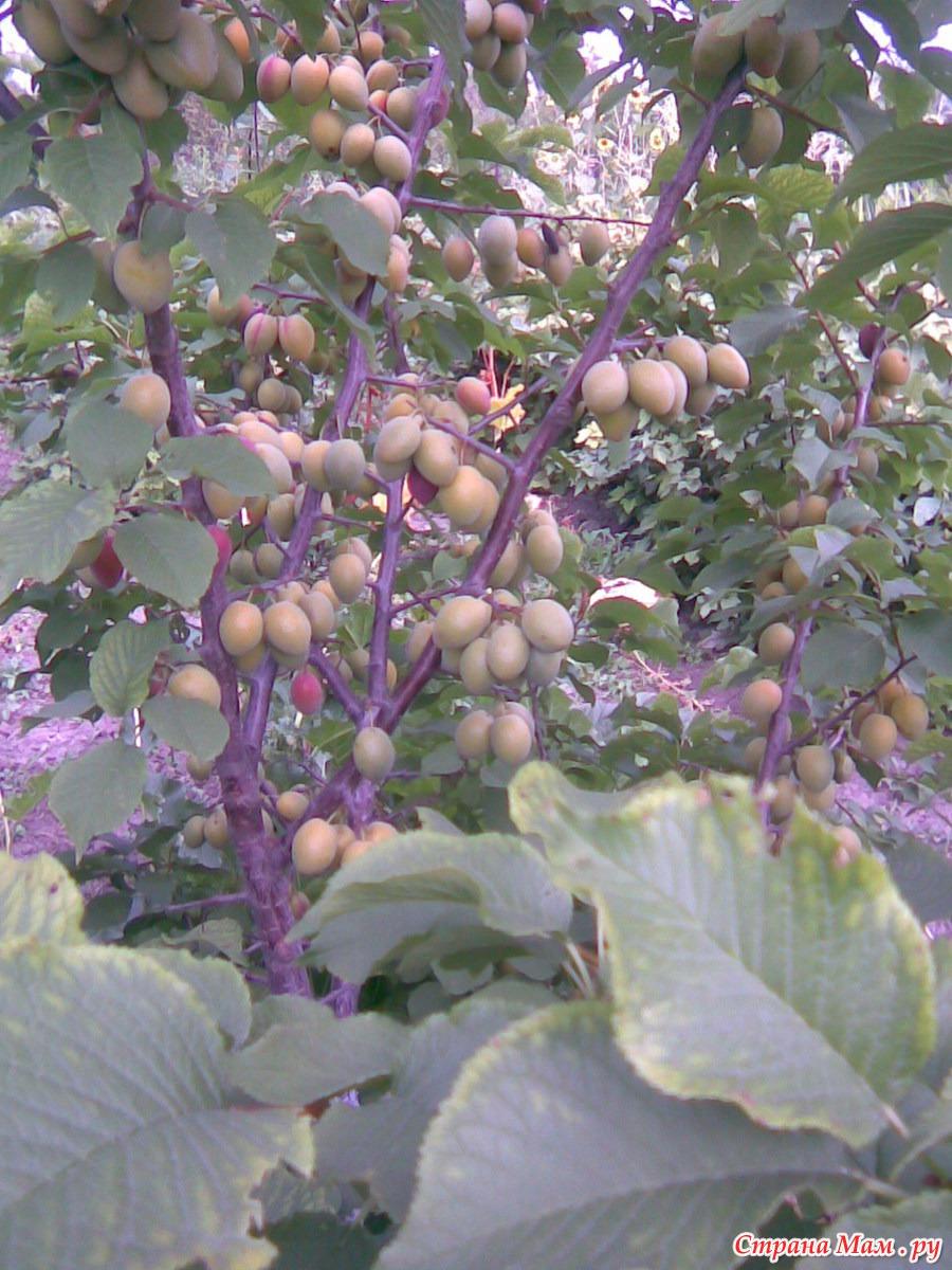 Купить саженцы абрикоса в Интернет-магазине Сады России.